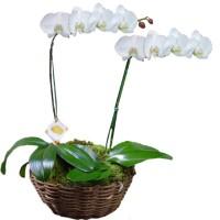 Orquídea Phalaenopsis em Dobro Branca | Cesto Cipó