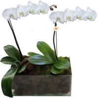 Orquídea Phalaenopsis em Dobro Branca | Vidro