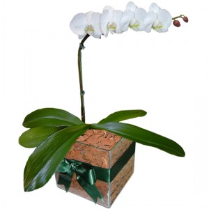 Orquídea Phalaenopsis Branca | Vidro