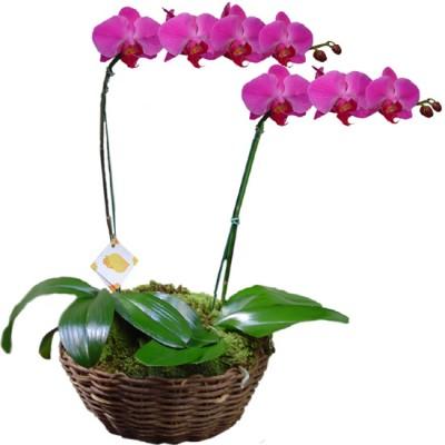 Orquídea Phalaenopsis Rosa Dobro | Cesto Cipó