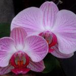 significado das orquideas