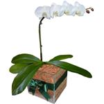 Flores para Homem | Orquidea Phalaenopsis Branca