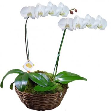 Orquídea Phalaenopsis Branca Dobro | Cesto Cipó