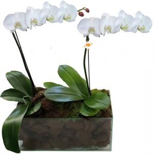 Orquídea Phalaenopsis Branca Dobro | Vidro