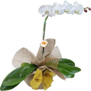 Orquídea Branca para presente