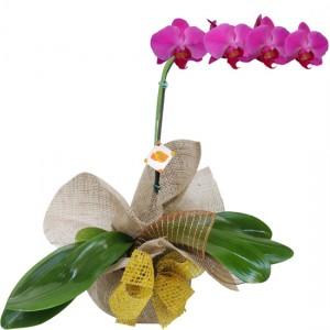 Orquídea Phalaenopsis Roxa para presente