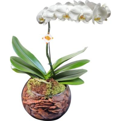 Orquídea Phalaenopsis Branca | Vidro Redondo