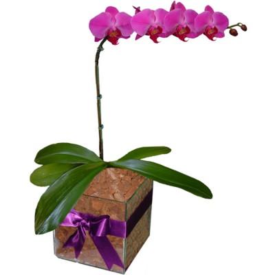 Orquídea Phalaenopsis Rosa | Vidro