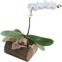 Orquidea Phalaenopisis Branca Alphaville